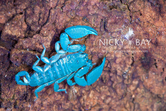 Scorpion (Liocheles australasiae?) - DSC_0735
