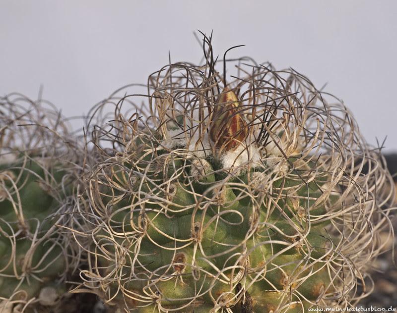Turbinicarpus pseudomacrochele ssp. lausseri, Altamira, QUER.