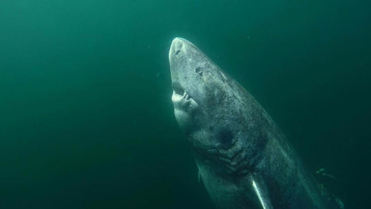 Shark Found In The Wild Believed To Be 512 Years Old