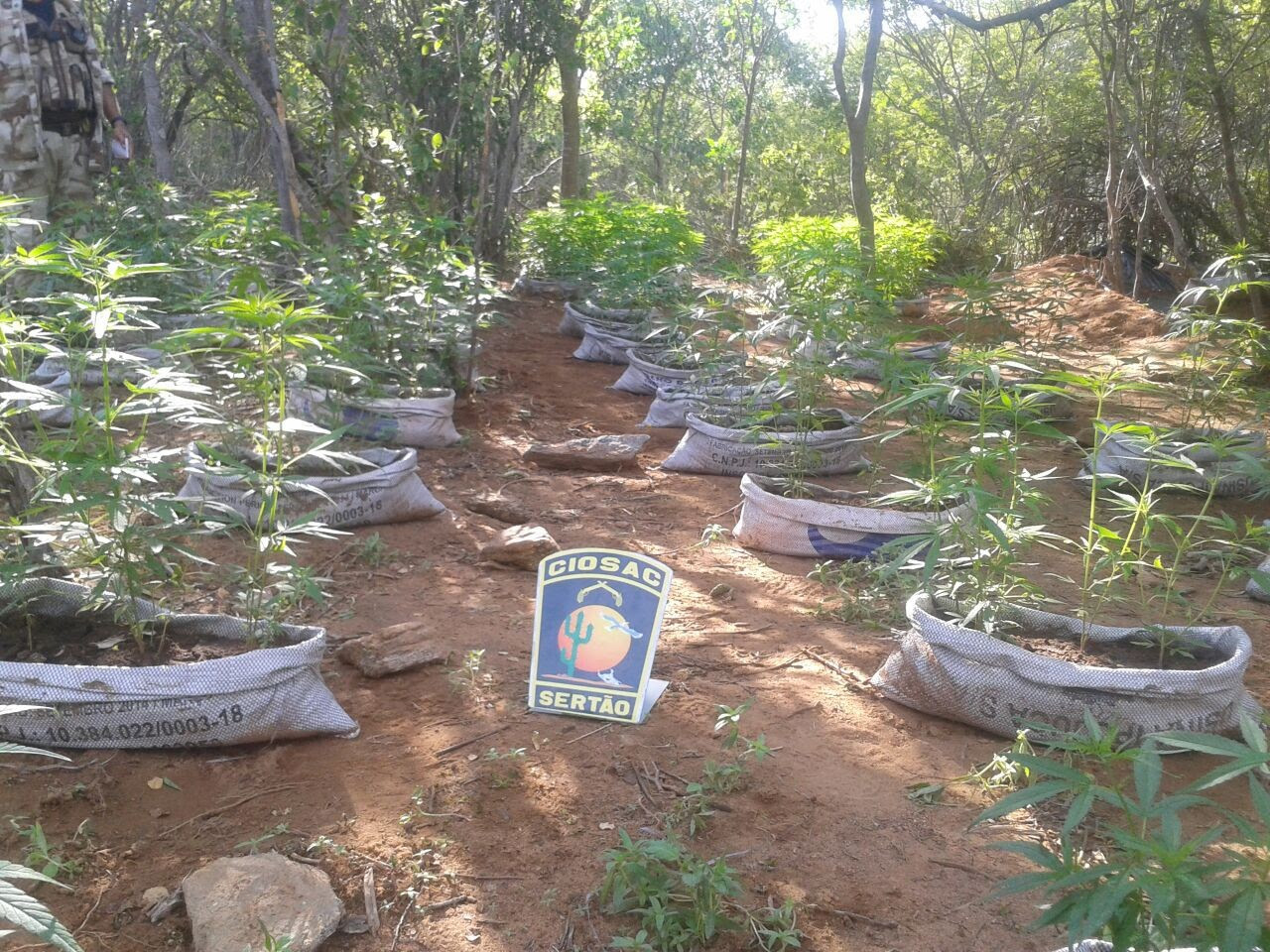 Plantação de maconha encontrada pela Ciosac em Betânia, Pernambuco (Foto: Divulgação/ Ciosac)