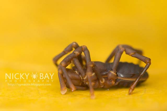 Harvestman (Opiliones) - DSC_4308