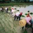 Civil Society Groups Slam FSANZ Approval of GMO Golden Rice - Sustainable Pulse