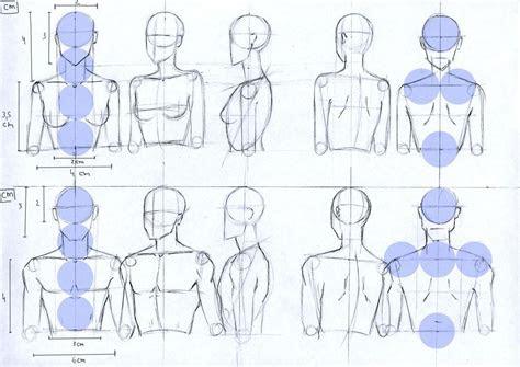 female  male anatomy proportions head  torso