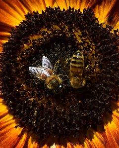 Unas abejas recolectan el polen de una flor en Italia. AFP