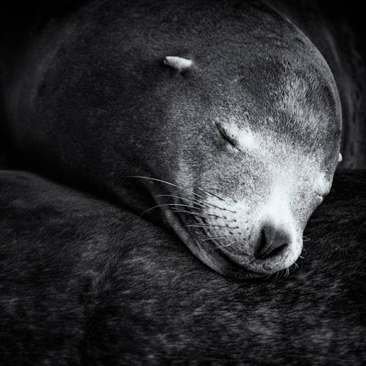"""Monterey Bay sea lion"" by SharonThomasPhotography"