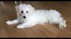 Freddie – 4 month old male Maltese Terrier Cross