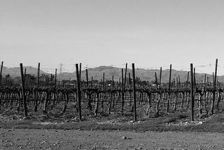 Wente Vineyards - Dormant vines