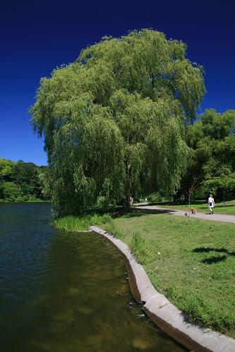 Ảnh: cây Weeping Willow ở cv High Park