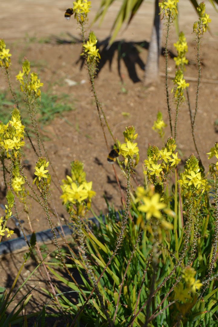 Plant Snake Flower Cats Tail Bulbine Frutescens