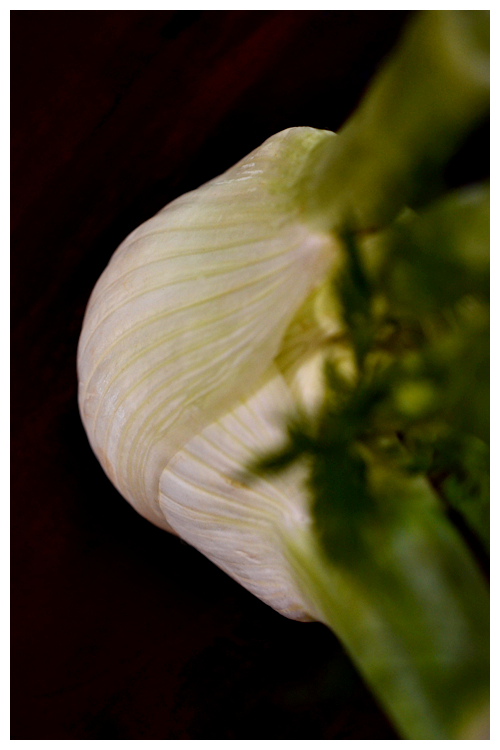 fennel© by Haalo
