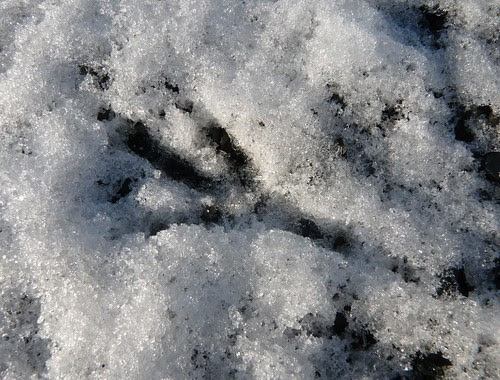 23704 - Crow/Raven Footprint