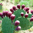 Nopal Cactus Health Benefits