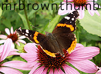 Black and red butterfly on purple coneflower