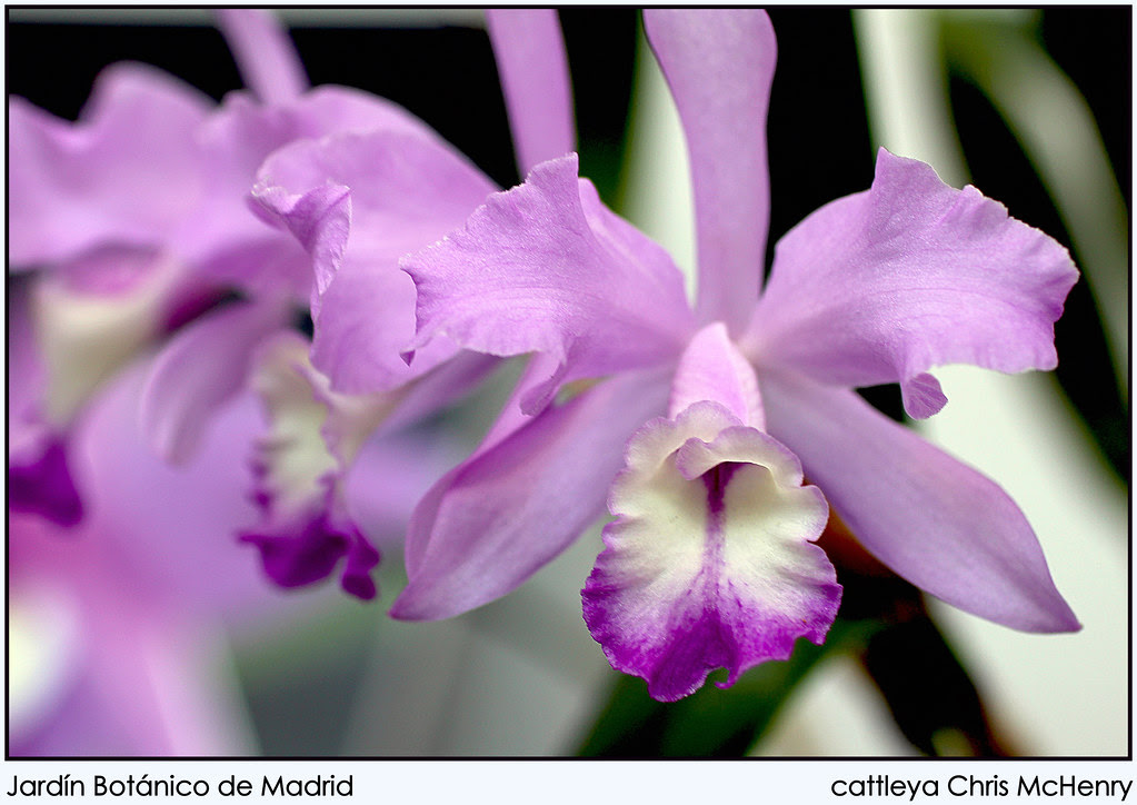 cattleya Chris McHenry