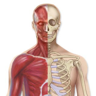 Bones_Joints_Muscles2.jpg