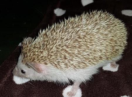Harry – 4 year old male African Pygmy Hedgehog