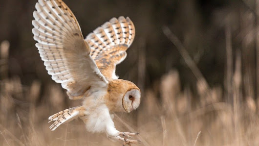 Owls hold secret to ageless ears