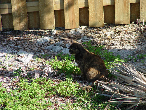 Feral cat stalking birds on Miami Beach.