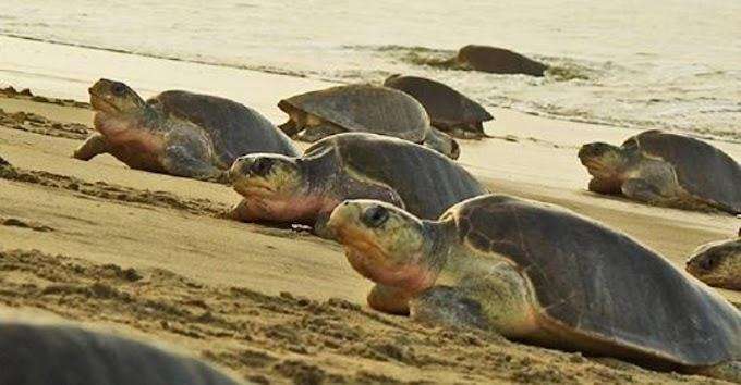 Por el coronavirus, miles de tortugas marinas disfrutan de las playas sin turistas para anidar