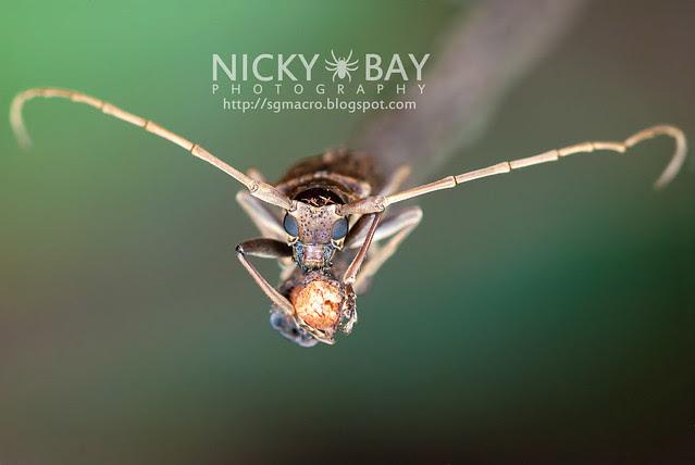 Mangrove Longhorn Beetle (Aeolesthes holosericeus) - DSC_1005