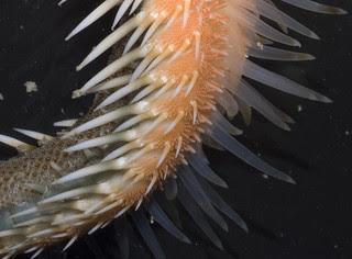 Orange sand star (Astropecten sp.)