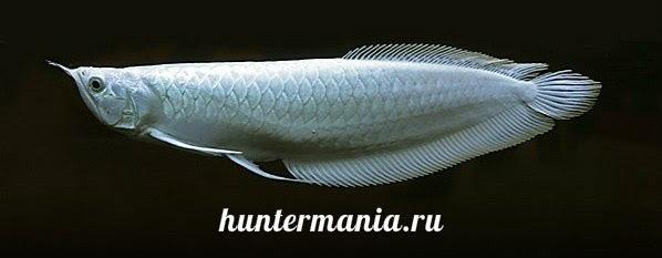 Платиновая арована - самая дорогая рыбка в мире