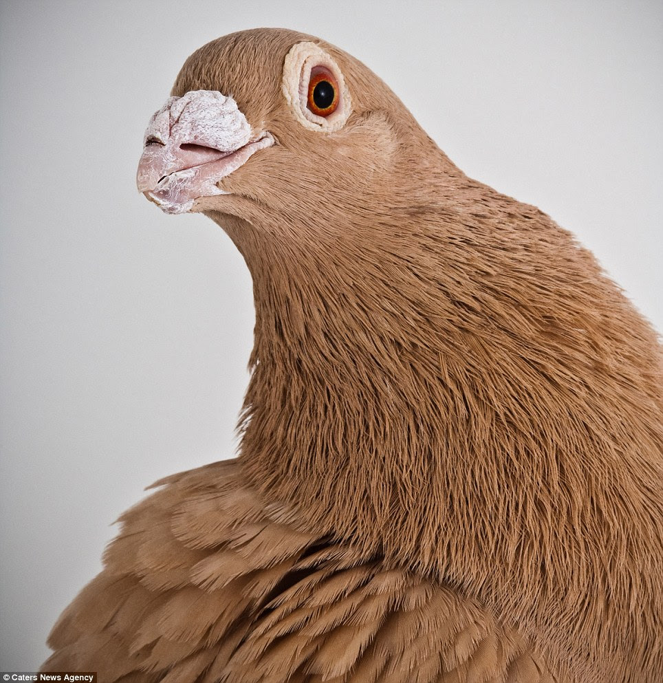 Classic look: The elegant Dragoon is one of the oldest breeds of British pigeons and was used to develop Racing Homers