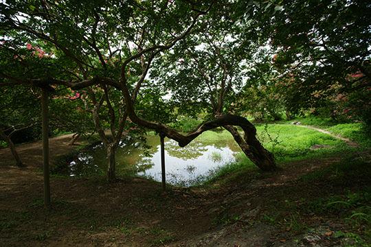 명옥헌 앞 연못에 배롱나무들이 반영된 모습이다. 한낮인데도 워낙 수목이 울창해 컴컴하다.