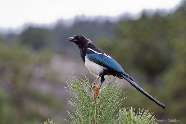 magpie posing, Rocky Mountain National Park