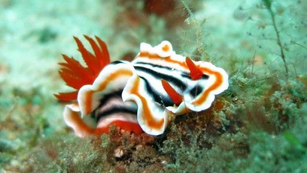 Fauna marina: nudibranquios