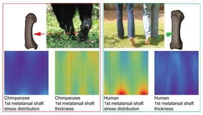 Big toe's big bone holds evolutionary key