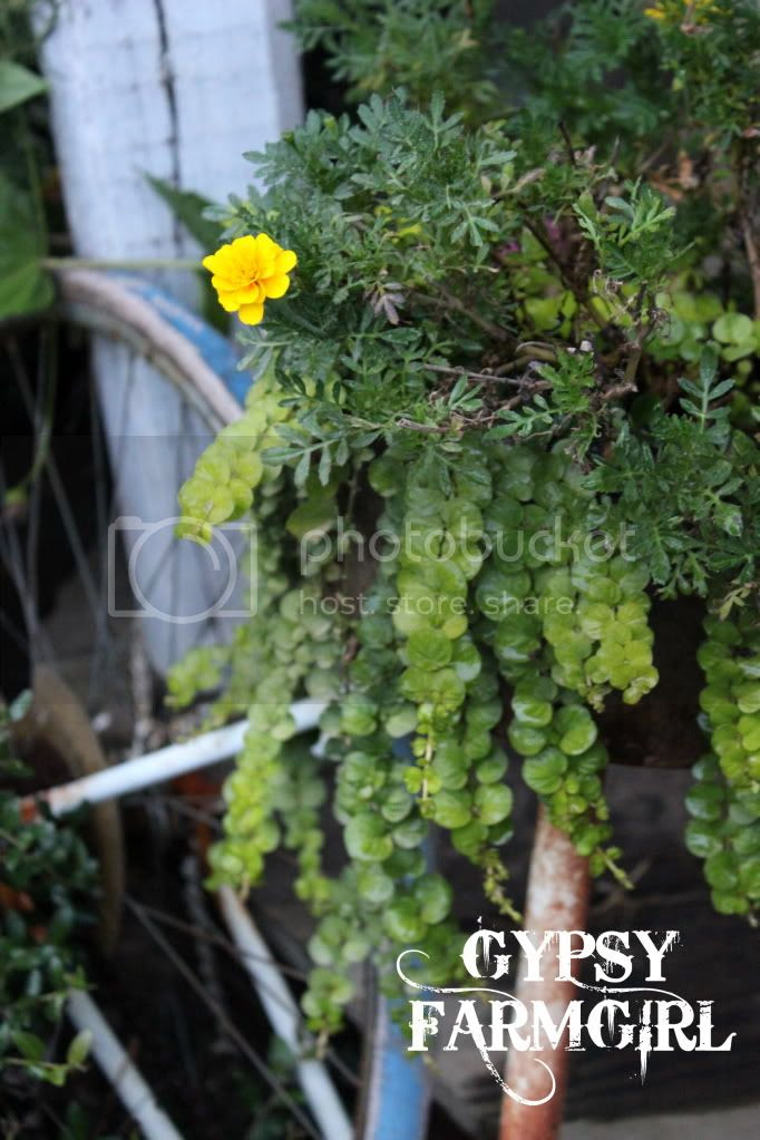 vintage bicycle with creeping jenny