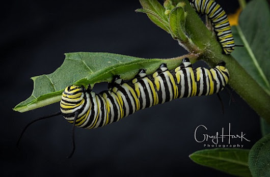 Caterpillar Feeding - Blog - greghark.com