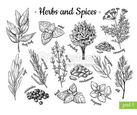 ハーブやスパイス手描きベクトル イラスト セット刻まれたスタイルの風味