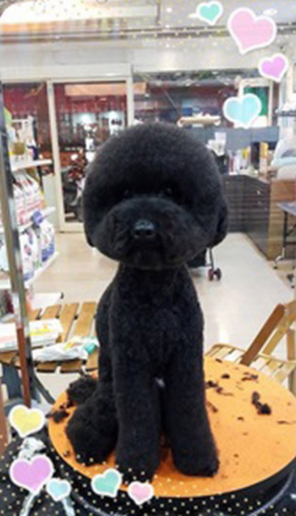 Round Poodle