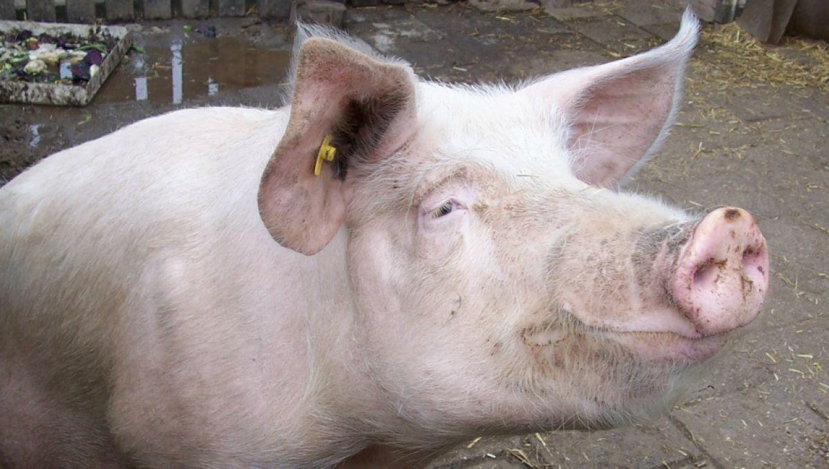J'ai toujours ma queue de vieux cochon à la main quand je regarde tes contributions. #PigGate: est-il légal d'introduire son pénis dans la ...