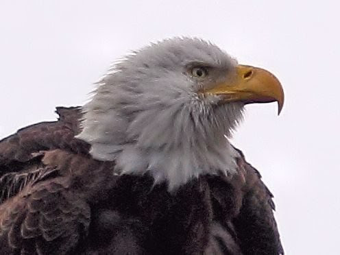 Bald Eagle female head COREL 20121221