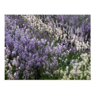 Beautiful Lavender postcard