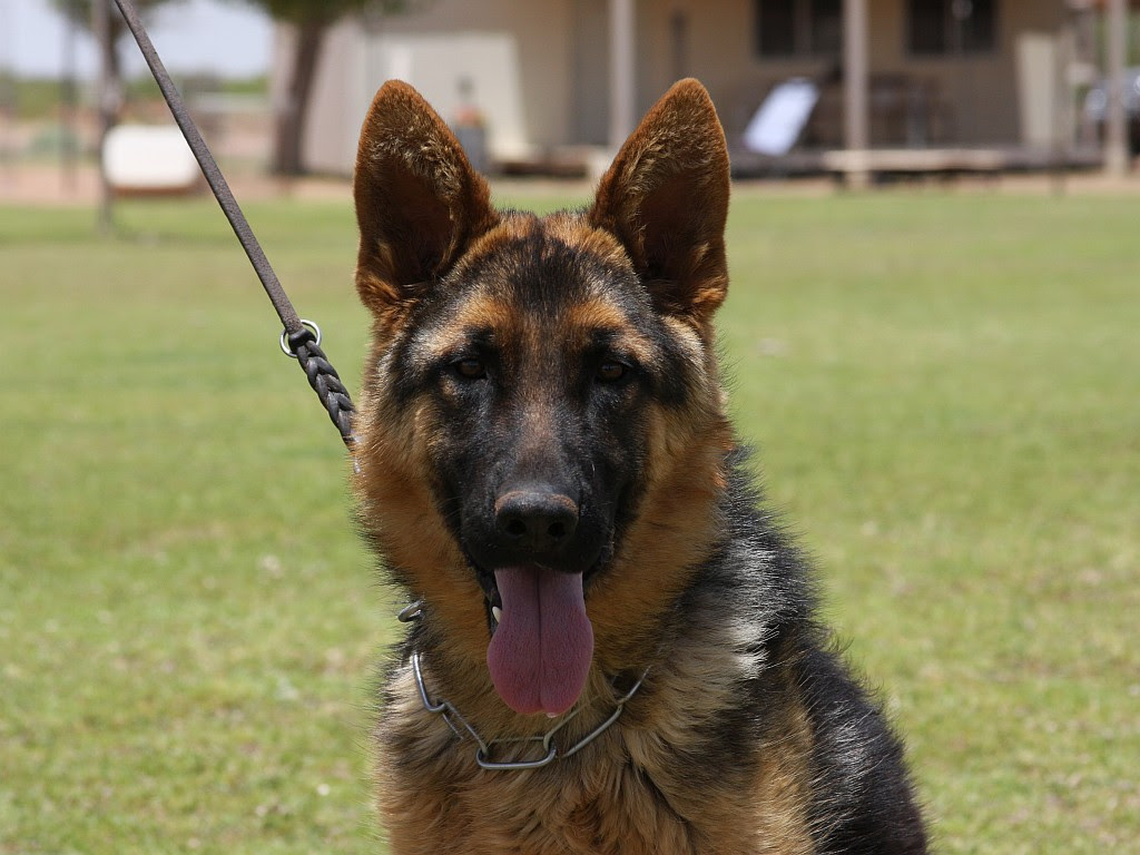 Black and Red German Shepherd Dog for sale in India