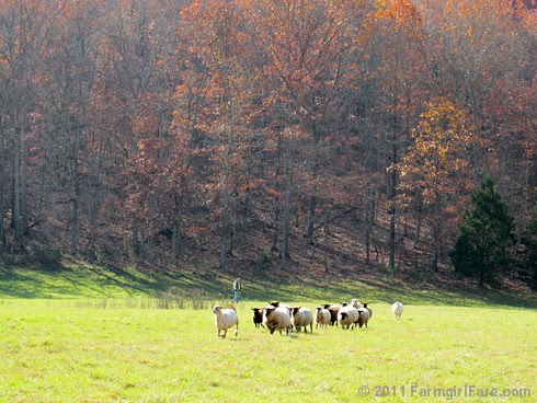 Rounding up the sheep surrounded by autumn color 6 - FarmgirlFare.com