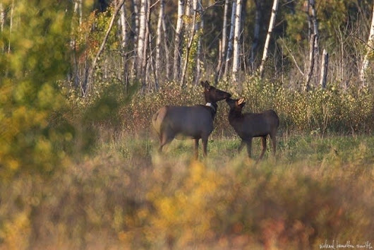 About 100 elk live in MN, should there be more?