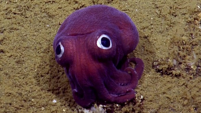 TREND ESSENCE: Scientists spot adorable squid with googly eyes