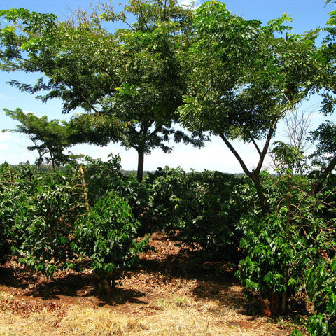 New coffee: Kenya, Kirimahiga, Washed AA : Brew Lab | Artisan Coffee Bar