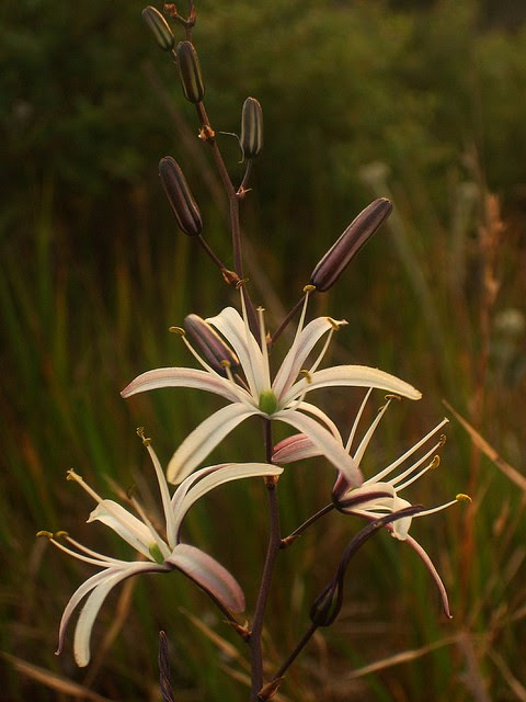 Learn how the Wavy Soap Plant has helped tribes survive - Wellness Coaching For Life