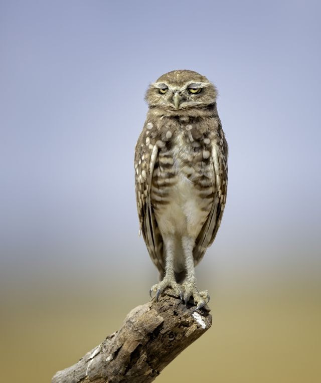 Burrowing owl youngsters are so amusing to watch. This burrowing owl caught the photographer's eye because he looked like he had a hangover. Image Courtesy: Anita Ross/Comedy Wildlife Photography Awards 2021