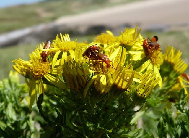 27627 - Soldier Beetles (Rhagonycha fulva)