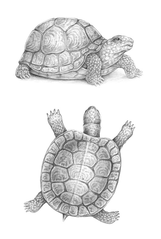 How to Draw a Turtle – New Tutorial on Envato Tuts+