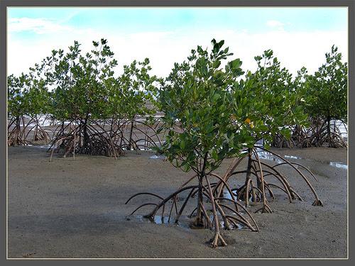 Mangue de Viti Levu, em Fiji