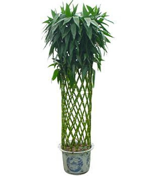 Lucky Bamboo to China, Good Luck Bamboo Plants Deliviered