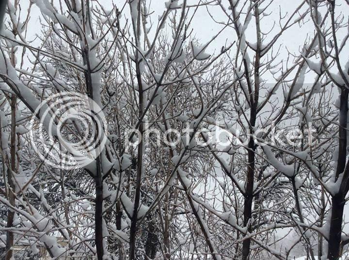 12/6/13 photo snowtrees.jpg